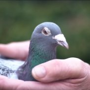 """The """"Lewis Hamilton"""" of racing pigeons: this bird's real name is Amando."""