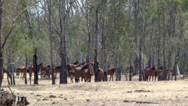 Recent drought has affected the horses' wellbeing.