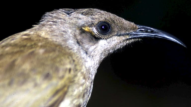 Brown honeyeater.