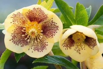 Helleborus x hybridis primrose yellow spotted.