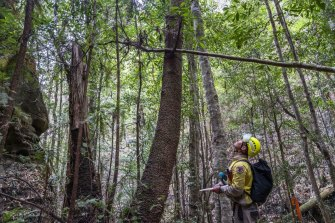 A NPWS firefighter looks up at one of the ancient Wollemi pines he has been sent in to protect.