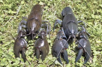 The swamp yabby. The species has larger, wider claws and is bulkier than a normal yabby.