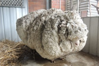 Chris the Sheep had to have a 40kg haircut.