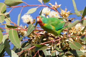 Swift parrots breed only in Tasmania and fly across the Bass Strait to forage on flowering eucalypts on the mainland.