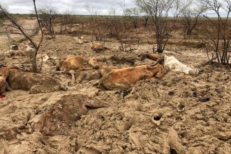 Cattle killed by flooding on Eddington station 20km West of Julia Creek, Queensland