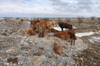 Cattle at Eddington Station in northwest Queensland already emaciated by drought now huddle on high ground due to devastating flooding