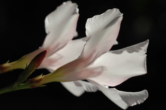 White oleander is an ingredient in the fragrance Drew Barrymore Flower.