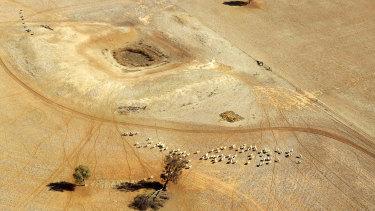 Sheep wonder parched land near a dry reservoir on a Condobolin property 460 kilometers northwest of Sydney.