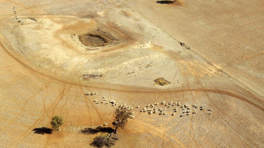 Sheep wonder parched land near a dry reservoir on a Condobolin property 460 kilometers northwest of Sydney.