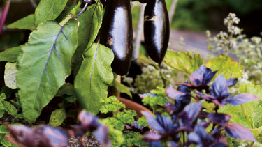 Eggplants are both an edible and ornamental option for containers.