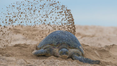 A Raine Island green turtle after nesting.