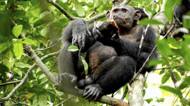 A wild chimpanzee eats a tortoise, whose hard shell was cracked open against tree trunks before the meat was scooped out, at the Loango National Park in Gabon in central Africa.