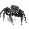 Five new spider species named after specimens discovered at Queensland Museum
