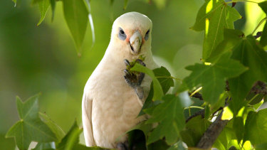 Corellas love Melbourne's liquidambar trees.