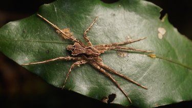 Ornodolomedes benrevelli named in honour of the collector and photographer, Mr Ben Revell, in testament to his efforts as a 'citizen scientist' for collecting a species that had remained so long undiscovered so close to Brisbane.