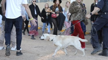 A police sniffer dog checks revellers at this year's Splendour in the Grass festival.