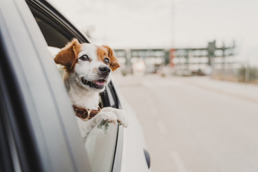 Some animal behaviourists reckon dogs love road trips because they evoke the same euphoric sensations as hunting marathons with their wolf ancestors.