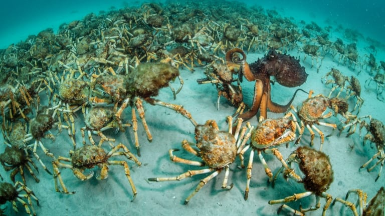 This image features a very unusual (and fortunate) encounter between an aggregation of spider crabs (Leptomithrax gaimardii) and a predatory octopus (Octopus maorum). This very rare and exciting encounter took place off Maria Island, Tasmania.