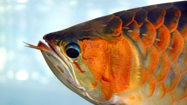 An arowana fish, where ASX listed investment group Arowana takes its name.