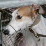 Under Animals Subordinate Law 2003 greyhounds are to be muzzled in public.