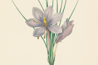 The anthers of the saffron crocus, here illustrated by Pierre-Joseph Redoute, are used to illustrate 'saffron yellow'