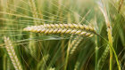 Barley tariffs have been imposed.