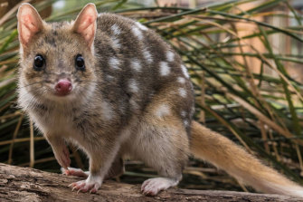 Before Harry Saddler puts down his pen, many quoll populations start to bounce back.