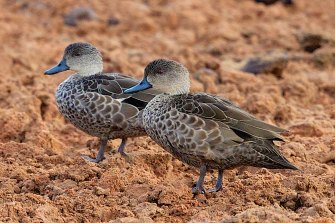 Two grey teal ducks, among the species  of waterbirds that have not seen a bounce in numbers despite better rains.