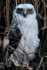 Which way is up? The grounded owlet prior to its rescue – and release.