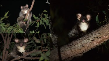 The northern species of greater glider (top left), central species (bottom left) and the southern species.