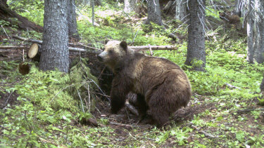 An adult female grizzly bear in the Cabinet Mountains, part of the Rocky Mountains in Montana.