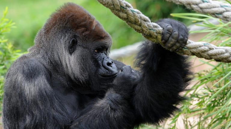 """Mogo Zoo owner Sally Padey said the 41-year-old gorilla had a """"powerful presence"""" ."""