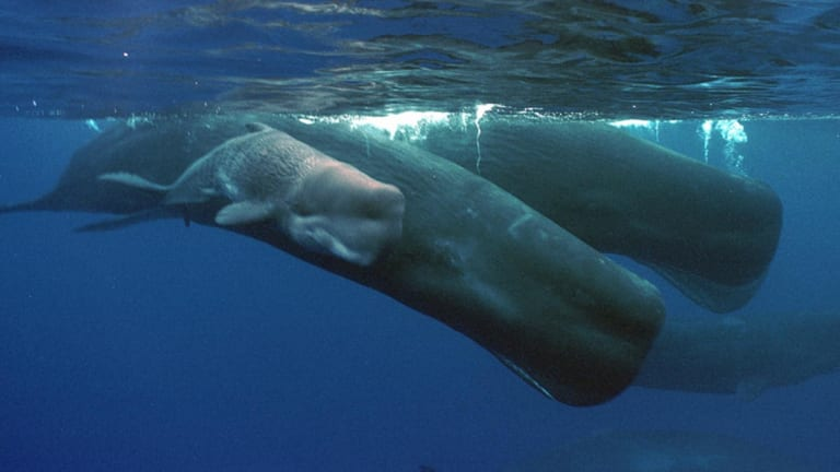 A sperm whale calf only hours old, swims next to its mother and a pod of sperm whales off the coast of the Agat Marina in Guam.
