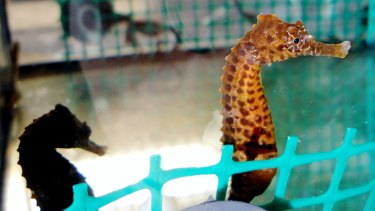 Juvenile pot-bellied seahorses reared in the laboratory.