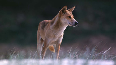 Dingoes are the apex predator in Australia, often bringing them into conflict with farmers.