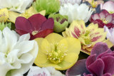 Colourful hellebores, the shade-loving, winter-flowering groundcover plants with a dark past.