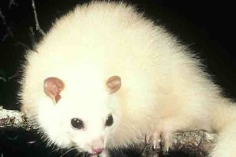 The authority says the lemuroid ringtail possum is one of the worst affected species.