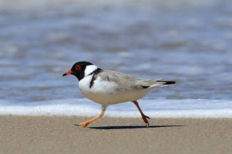 The hooded plover.