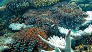 The crown-of-thorns starfish is a major threat to the Great Barrier Reef.
