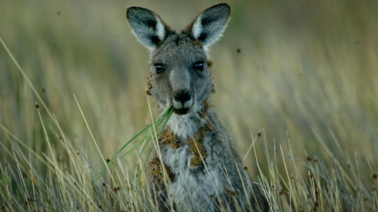 A motorcyclist died on Tuesday morning after hitting a kangaroo on the M4 near Penrith.