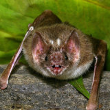 Vampire bat.