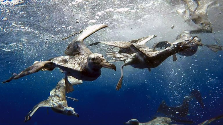 Shearwaters dive in the waters off Lord Howe Island.