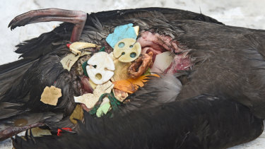 The stomach of a dead bird filled with plastic.