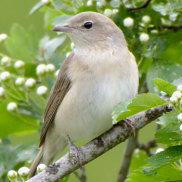 New research has found garden warblers will risk death just for a good nap