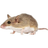 Not a newspaper editor: the African pygmy mouse.