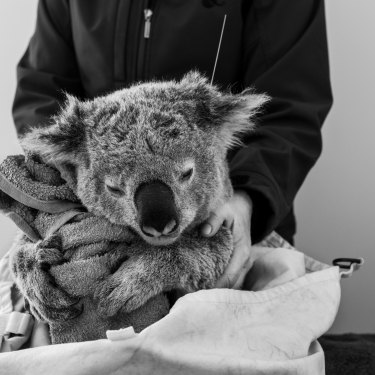 A rolled-up towel serves as a tree-trunk substitute for this sedated koala during ANU research into the impact of bushfires.