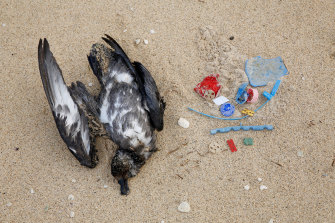 A dead petrel with plastics found inside its stomach on a beach at Lord Howe Island.