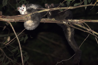 Greater gliders in the wild.