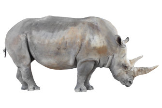 There are only two northern white rhinos left - and they're both female.