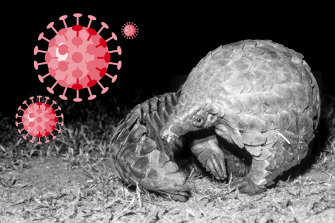 Scientists say the virus is genetically linked to bats but new research suggests it might have first jumped into the endangered (and heavily trafficked) pangolin (above) before crossing into humans.